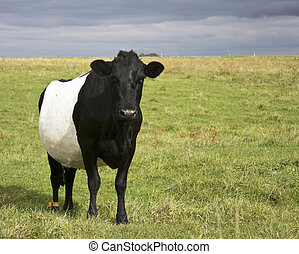 belted galloway cow on a hay field