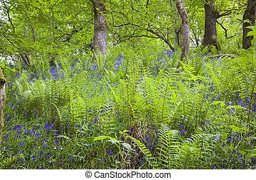 Fern meadows in the birk of Aberfeldy, Scotland