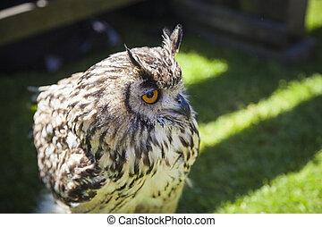 A close up of a Barn Owl, Sutherland, Scotland