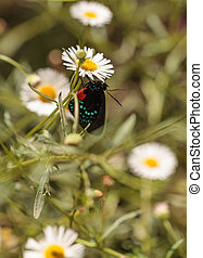 Atala hairstreak butterfly, Eumaeus atala