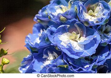 Blue larkspur flower called Delphinium in a botanical garden...