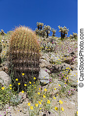 Wildflowers blooming in Anza-Borrego Desert State Park -...