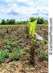 Young banana tree on ground in banana farm. agriculture...