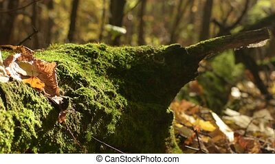 Autumn forest in sunny day. Old tree with moss and fall leaves on the ground.