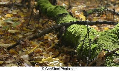 Sunny autumn esday in forest. Old tree with moss lying on...