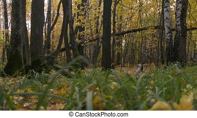 Autumn forest scene. Green grass on the background of fall trees.