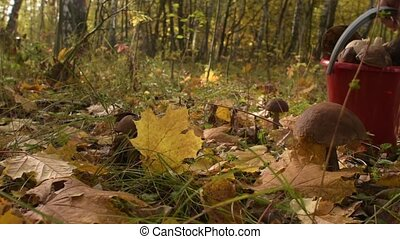Picking mushrooms in autumn forest. Group of boletus in fall grass and leaves.