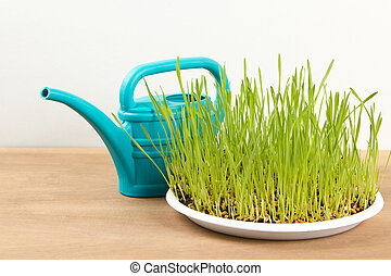 the sprouted grains of wheat and garden watering