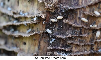 Ants on wood moving their larvae on wood