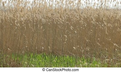Ears on long stems Bulrush swing from wind