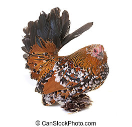 Dutch Booted Bantam in front of white background