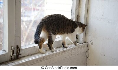 Cat walks on old narrow window sill - Grey and white tabby...