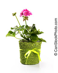 flower pot with pink pelargonium isolated on white