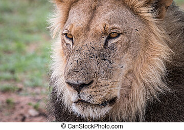 Starring male Lion. - Starring Lion in the Kgalagadi...