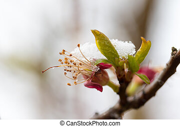 Snowy apricot blossom closeup - Closeup view of snowy...