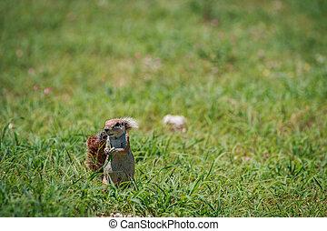 Ground squirrel eating grass.