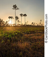 South Florida Pine Woods at Sunset - Sunset illuminates the...