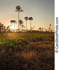 South Florida Pine Woods at Sunset - Sunset illuminates the...