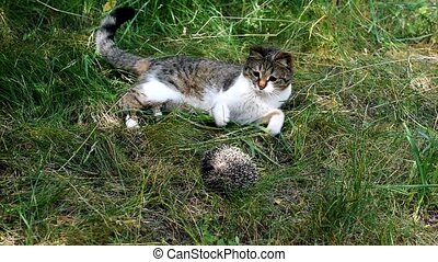 Cat plays with hedgehog outdoors - Cat plays with a hedgehog...