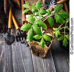Seedlings tomato in pot with garden tools