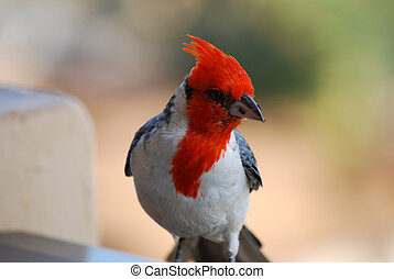Up Close Red Crested Cardinal Bird with a Breadcrumb -...