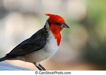 Beautiful Red Crested Cardinal Bird on a Railing - Red...