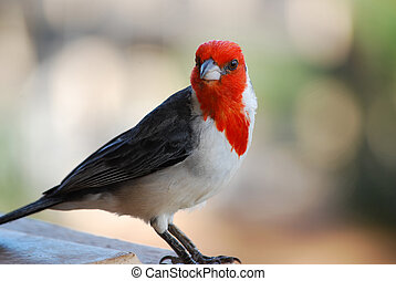 Red Crested Cardinal Bird Standing on a Rail - Face of a red...