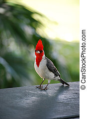 Red Crested Cardinal Bird Standing on a Railing - Red...