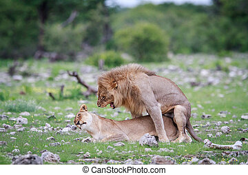 Mating pair of Lions. - Mating Lions in the Etosha National...