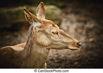Portrait of Deer - Portrait of Female Elk against Dark...