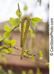 Birch twig with catkins background in spring - Spring. Birch...