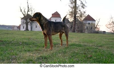 Cute dog playing at castle grounds - Cute dog playing on...