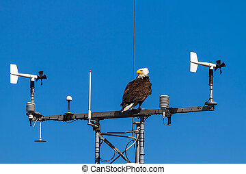 American Bald Eagle perched on Communication Tower