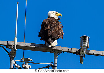 American Bald Eagle on Communication Tower