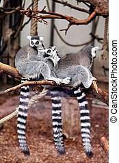 family Ring tailed Lemur