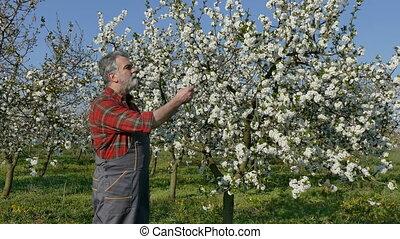 Farmer in cherry orchard - Agronomist or farmer examine...