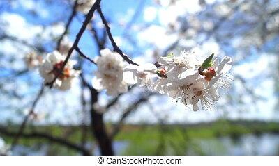 Flowers summer spring sun - Spring blossom over sunset sky....