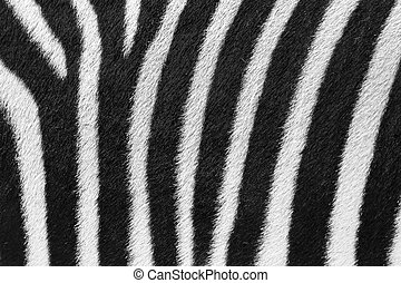Zebra fur - Beautiful background close up of the black and...