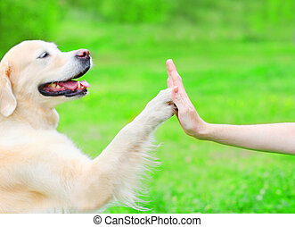 Owner is training her Golden Retriever dog on the grass in park, giving paw to hand