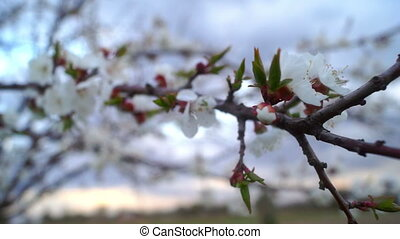 Flowers cherry spring - Cherry blossom on the tree branch...
