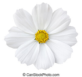White cosmos flower isolated on white with clipping path
