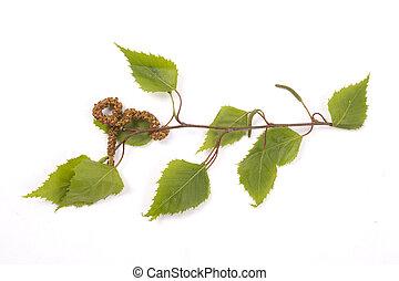 birch tree, catkin - Small branch of a birch tree with...