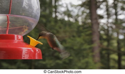 Hummingbird - Hummingbird at a feeder Turns and looks at...