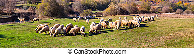 flock of sheep grazing on a hillside