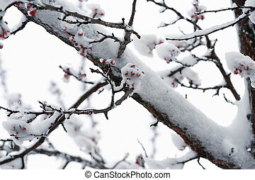 Blossoming apricot and snow - Snow-covered blossoming...