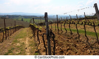 close up of vineyard at the Toscana valley at the spring...