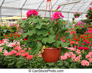 vase with flowers geraniums for sale in the greenhouse