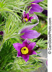 pasque flower 14