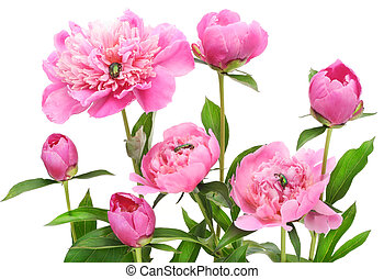 Pink June peonies and bugs - Pink June peonies and a three...