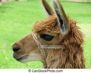 Llama close up, Sacred Valley, Machu Picchu, Cuzco, Peru -...